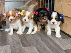 Pure Bred Cavalier King Charles  Puppies