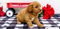 Home Bred, Health Tested Cavapoos