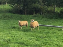 Pedigree Charollais Ewe Lambs and strong Ram Lambs.