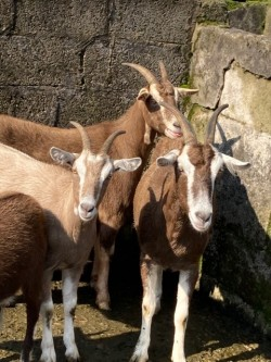 Three British Toggenburg Nanny Goats.