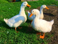 Ducks available
