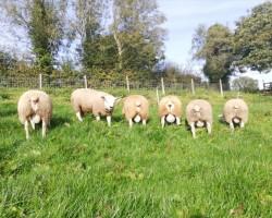 PBR Texel Ram Lambs