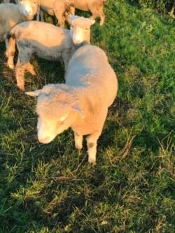 Dorset Ewes