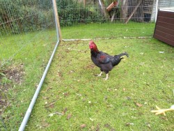 Road Island Red Rooster FREE to good home