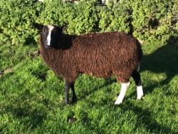 Purebred registered zwartble ram lamb