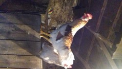 Roosters( 2)