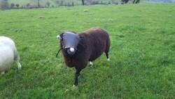 Sheep Ram Guard