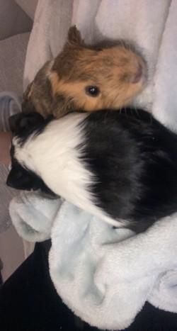 2 Guniea pigs