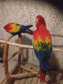 Rare Scarlett Macaws For sale