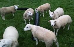 Ped Texel Rams