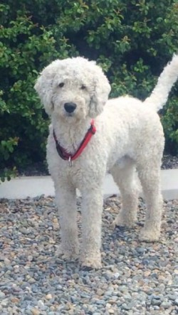 golden doodle stud available