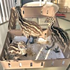 Fresh Hatching ostrich eggs, emu eggs and chicks for sale