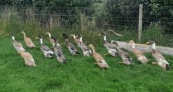 Runner ducks