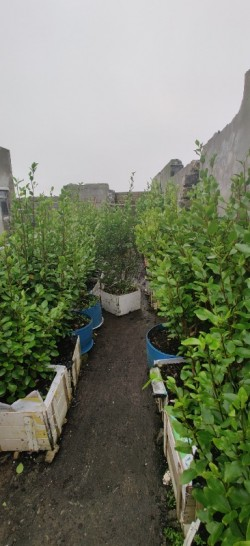 griselinia 5/6 ft high trees