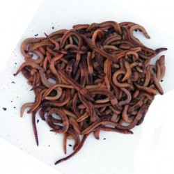 Worms for Fishing or for Compost Bin